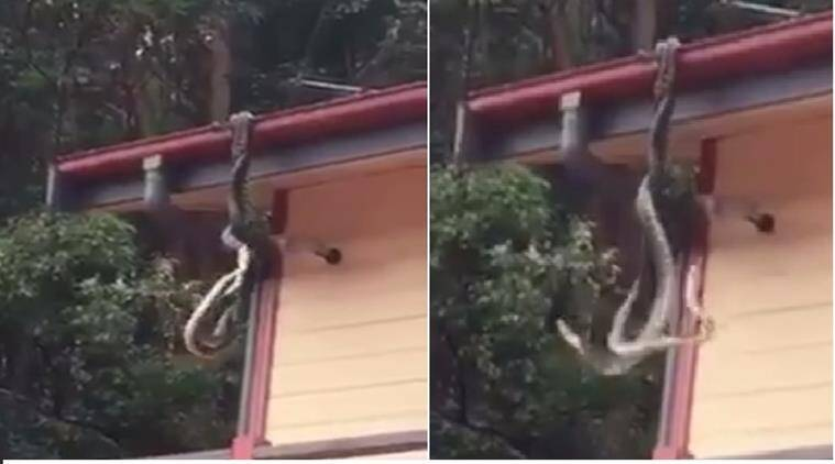 snakes fighting on roof, python fighting for mate, snake fight in Queensland, Sunshine Coast Snake Catchers