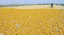 China set to export corn, threatening global market