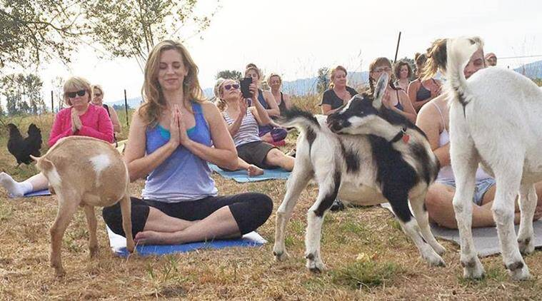 People practising yoga at the farm. (Source: Facebook/Your Daily Goat)