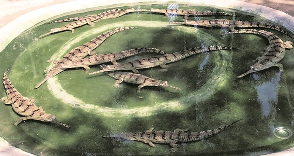 It's a gharial! 45 yrs later, Odisha welcomes its first hatchlings