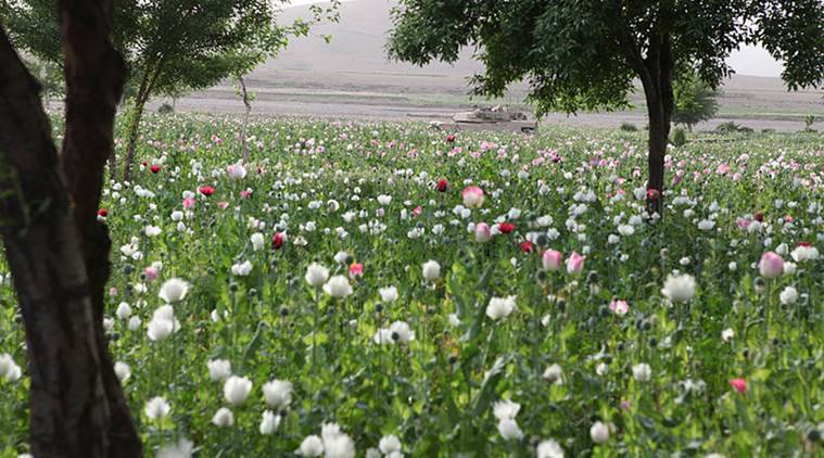 Afghan opium cultivation, Afghanistan, latest news, world news, Afghanistan news, US-led counter-narcotics programmes, latest news, US news, world affairs news