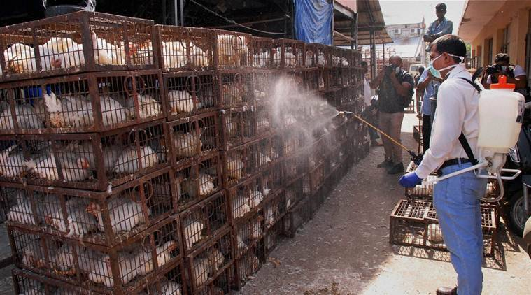 bird flu, flu, avian flu, AH5N8, bird flu tamil nadu, tamil nadu bird flu, Balakrishna Reddy, India news, Indian express news