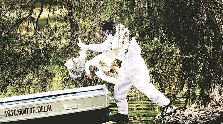 Chilka Lake, bird flu, avian influenza, bird flu in Odisha, Odisha news, latest news, Indian express