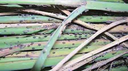 brown plant hopper, brown plant hopper crop failure, brown plant hopper crop loss, farming, india farners, india agriculture, whitefly, punjab crop loss, pest control, agriculture news, india news