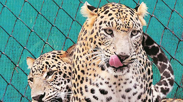 Chandigarh, Chhatbir Zoo, Mahendra Chaudhary Zoological Park, wildlife week, zoo adoption, Chandigarh news, latest news, Indian express