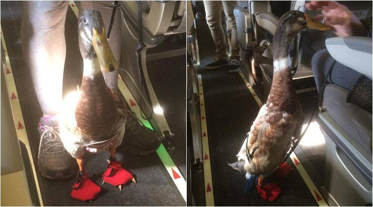 duck, duck on plane, duck travel by plane, emotional support animals, emotional support pets, duck flight photos, emotional duck flight photos, viral news, trending news