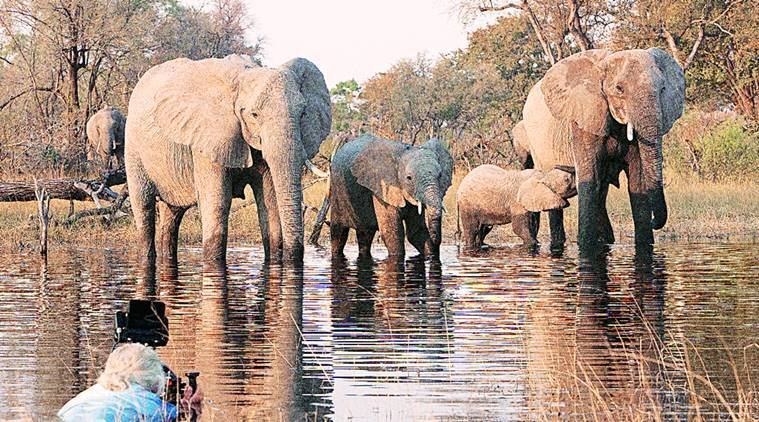 botswana, botswana elephants, elephant documentary, national geographic, wildlife conservation, indian express talk, elephant