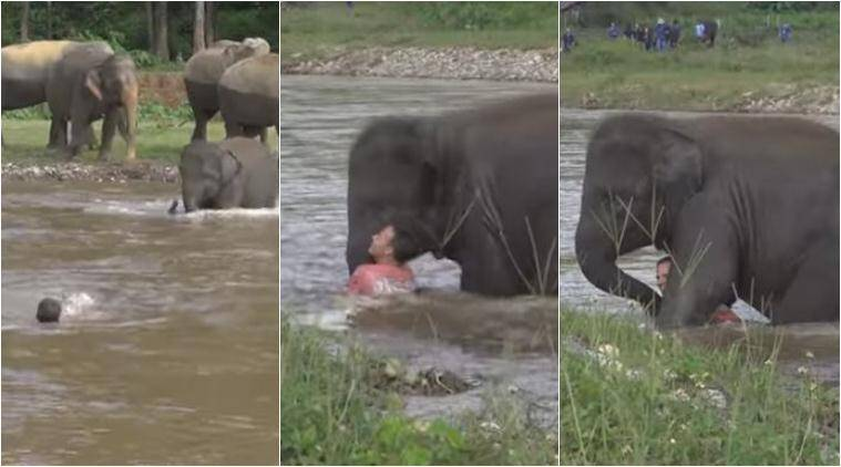 elephant, elephant saves man, baby elephant saves man, thailand elephant nature park, human elephant videos, human elephant relationship, viral videos, animal videos, cute videos, indian express