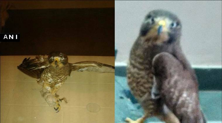 BSF found a falcon from Pakistan