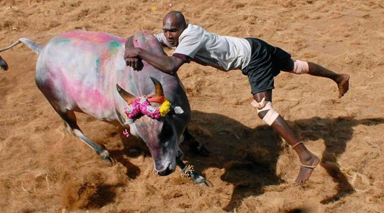 jallikattu, pongal, jallikattu pongal, bull sport, aiadmk jallikattu, aiadmk bull fighting, jallikattu discussion, jallikattu supreme court, supreme court, anil madhav dave, india news, latest news, indian express