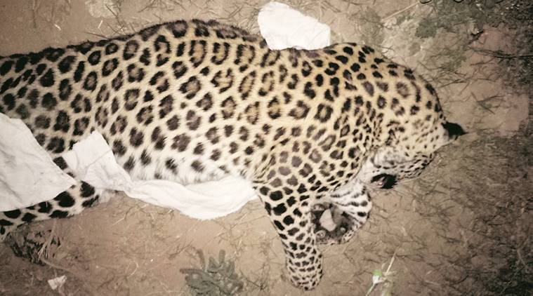 The leopard was nearly three-year-old. (Express Photo)