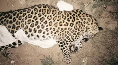 Leopard found dead in Reasi district of Jammu and Kashmir