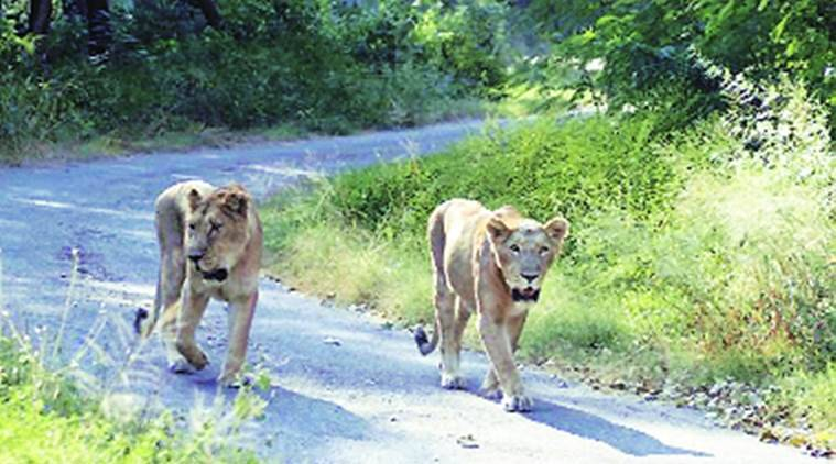 Chhatbir zoo, V P Singh Badnore, V P Singh Badnore lion safari, Chhatbir zoo lion safari, chandigarh news, india news, indian express news