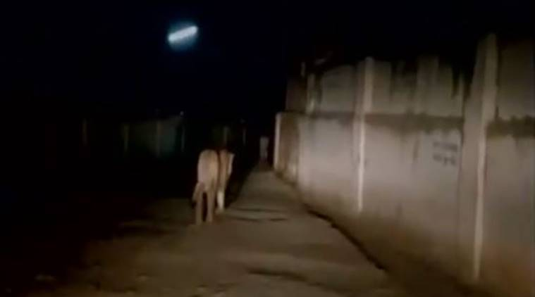 lions on road, lions walking on road video, video lions on road, junagadh district lions spotted, lions spotted in junagadh district, gir national park, gir national park lions, trending, indian express,