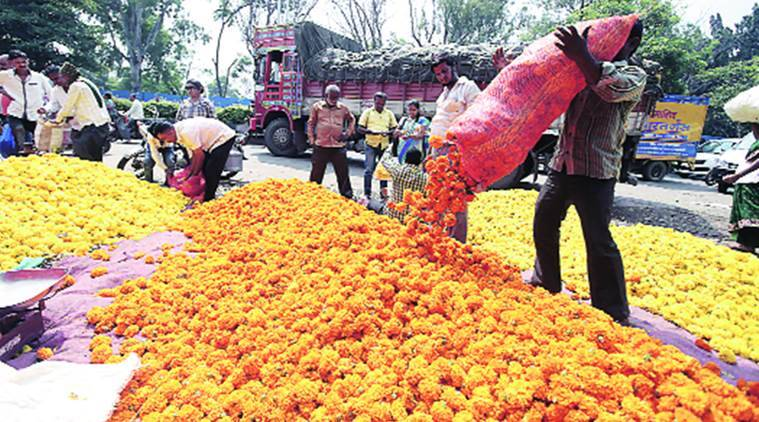 marigold, marigold prices, marigold prices fall, maharashtra marigold, maharashtra marigold cultivation, india news, pune news, india news