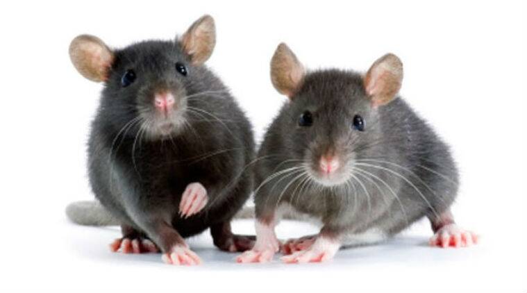 Mice, Mice singing, mice courting, mice jet engines, mice airplane, mice ultrasonic sound, human ear, supersonic jet engines, singing mice, ultrasonic sounds, science, science news