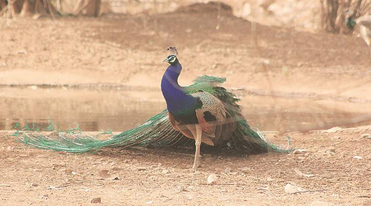 Patna zoo closed indefinitely after six peacocks die of bird flu