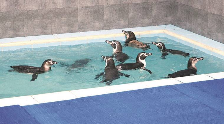 Humboldt penguin, mumbai zoo, mumbai zoo penguin death, mumbai zoo, mumbai penguin, zoo penguin death, animal rights, news, latest news, India news, national news, Mumbai news