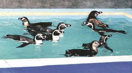 Maharashtra: Veterinarians keep a close eye on seven penguins at Bycullazoo