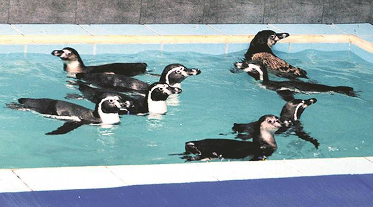 byculla zoo, penguins, byculla zoo penguins, mumbai penguins, Humboldt penguin, penguin zoo, Byculla zoo penguin, animal rights, india news, mumbai news