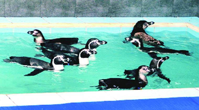 Humboldt penguins row, Maharashtra , Maharashtra Humboldt penguins row, Central Zoo Authority, Godfrey Pimenta, trustee of foundation, India news, latest news