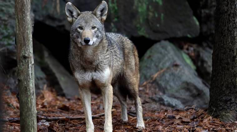 mexican wolves, mexico wolf, wolves, wilflife protection, US, US wolves, endangered animals