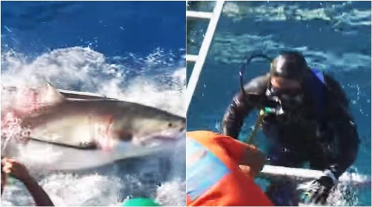 shark, shark breaks into cage, shark attacks diver, shark breaks into diver's cage, diver swims with shark, indian express, indian express news, trending globally