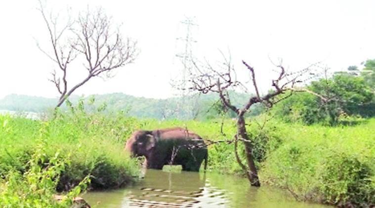 karnataka, karnataka elephant, elephant lost karnataka, elephant crippled karnataka, elephant injured karnataka, karnataka elephant in dam, karnataka news, india news, indian express