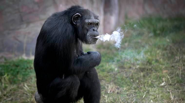chimpanzee, smoking chimpanzee, north korea, north korea smoking chimpanzee, Pyongyang zoo smoking chimpanzee, Pyongyang zoo animals, chimpanzee smoking cigarettes, north korea news, world news, latest news, viral news, trending videos, viral videos