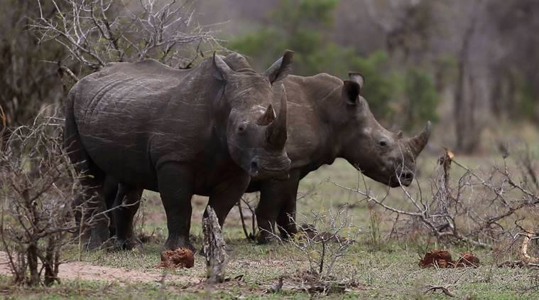 UK rhinos, rhinoceros, rhino, britain rhino, Africa rhino, Prince William, news, latest news, world news, UK news, international news