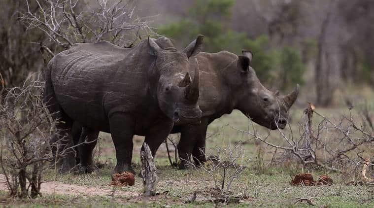 UK rhinos, rhinoceros, rhino, britain rhino, Africa rhino,Prince William, news, latest news, world news, UK news, international news