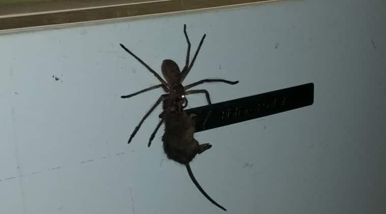 hunstman spider, hunstamn spider carrying mouse, spider carries mouse in australia, australia huntsman spider, dangerous australia animals, indian express, indian express news