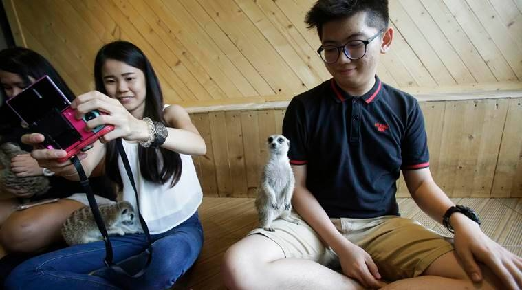 In this Sept. 27, 2016 photo, visitors play with meerkats at Little Zoo Café in Bangkok, Thailand. In Asia, where the first cat cafe opened more than a decade ago, the concept has moved well beyond felines. At Little Zoo Cafe in Bangkok, meerkats, raccoons and the little foxes with the hugest, softest ears imaginable can be cuddled near plates of crepes and French fries. (AP Photo/Sakchai Lalit)