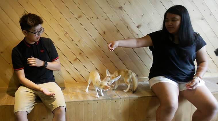 In this Sept. 27, 2016 photo, visitors play fennec foxes at Little Zoo Cafe in Bangkok, Thailand. In Asia, where the first cat cafe opened more than a decade ago, the concept has moved well beyond felines. At Little Zoo Cafe in Bangkok, meerkats, raccoons and the little foxes with the hugest, softest ears imaginable can be cuddled near plates of crepes and French fries. (AP Photo/Sakchai Lalit)