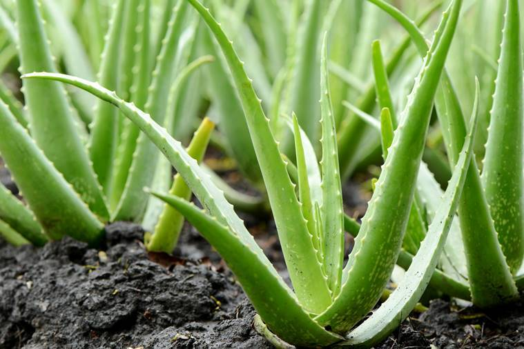 Group of Aloe Vera Plant growth in farmMore Aloe Vera image: