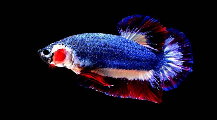 Siamese fighting fish, Thai fish, Betta fish, The Indian Express, Indian Express news