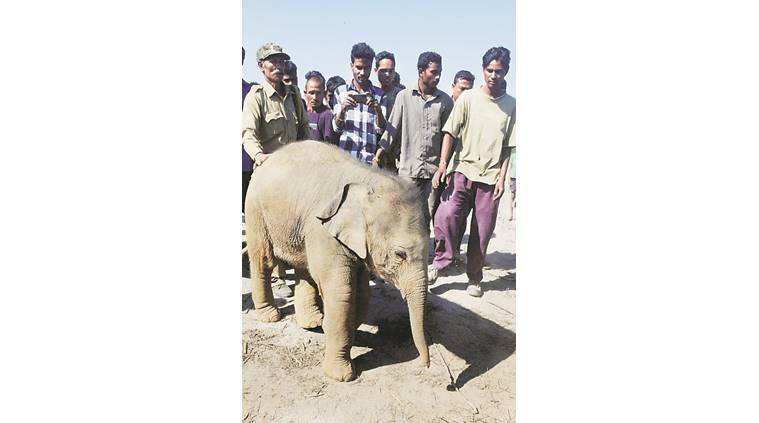 The rescued elephant calf. PTI photo
