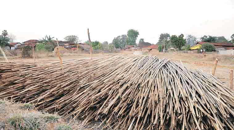 Harvested bamboo stacked at Tembli village in Korchi taluka of Gadchiroli. (Express Photo: Deepak Daware)