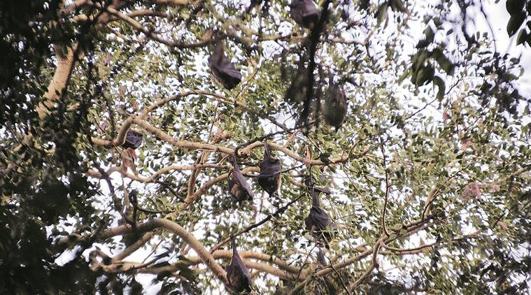 brazilian bats, bats, free-tailed bats, brazilian free-tailed bats, fastest flying mammal, bats fastest flying mammal, science news, latest news