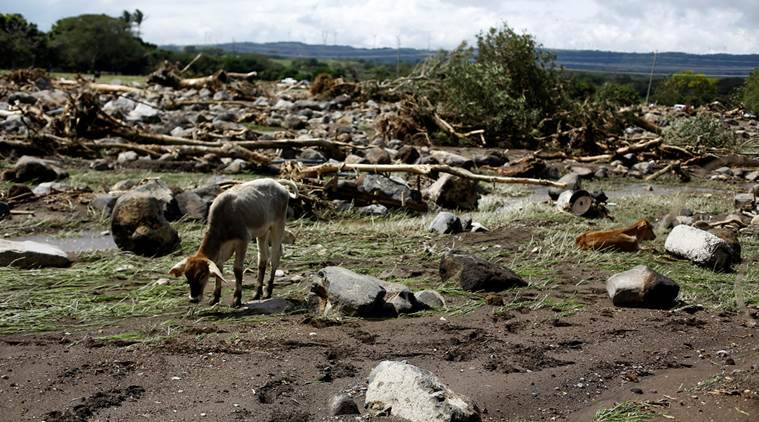 Cattle are seen area damaged by a landside after Hurricane Otto hit  in Guayabo de Bagaces, Costa Rica November 25, 2016. REUTERS/ Juan Carlos Ulate