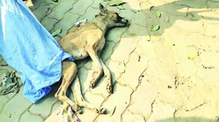 animal cruelty, cruelty against animals, Tricity, protest march, animal rights, indian express