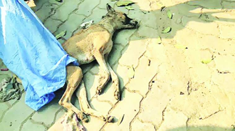 chandigarh, chandigarh news, chandigarh dog beaten to death, dog beaten to death chandigarh, chandigarh dog dead, indian express, india news