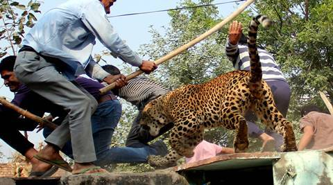 Gurgaon, India, November 24: A Leopard entered in village Mundawala near Sohna on Thursday early morning, leopard injured around ten villagers, after that villagers killed leopard, in Gurgaon, on Thursday, November 24, 2016. Photo by Manoj Kumar