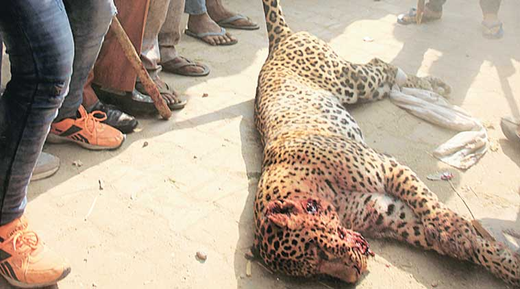 leopard, gurgaon leopard, gurgaon news, gurgaon leopard killed, man vs animal, animal cruelty, gugaon news, india news