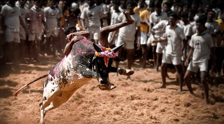 Jallikattu ban: The Supreme Court had in November reserved its verdict on a batch of petitions, challenging the Centre's notification allowing the use of bulls in Jallikattu.(Source: File)