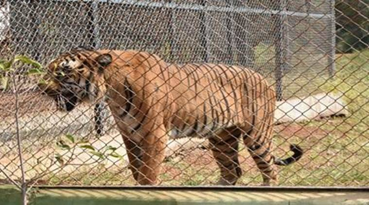 posession, tiger, man tiger, tiger enclosure, tiger zoo, man tiger enclosure, news, latest news, India news, national news,
