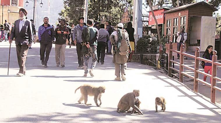 Monkeys, himachal monkeys, north-east, north east news, north east monkeys, Nagaland, Arunachal Pradesh, Mizoram, latest news, latest india news