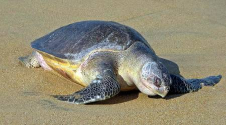 Olive Ridley sea turtles arrive at Odisha's Gahirmatha beach