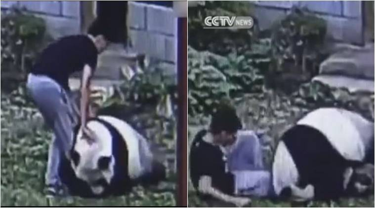 giant panda, man vs panda video, panda video, man panda wrestling video, china zoo panda video, panda viral video, china zoo panda attack man, trending videos, latest news, indian express