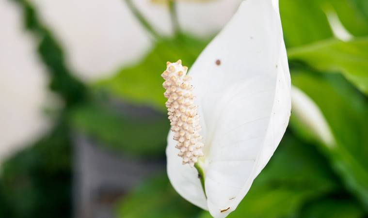 White flower of a Peace Lily, from the genus Spathiphyllum